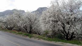 Muğla'da Badem Çiçeği Festivali