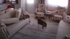 Depremi 10 saniye önceden hisseden köpek kamerada