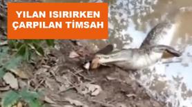 Yılan ısırırken çarpılan timsah