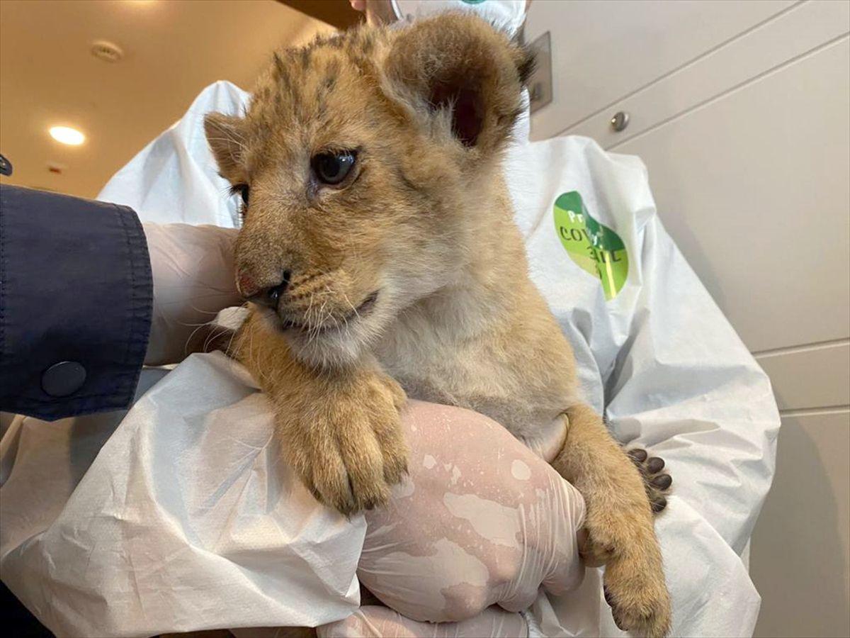 İstanbul'da yavru aslan ve piton ele geçirildi - Sayfa 1