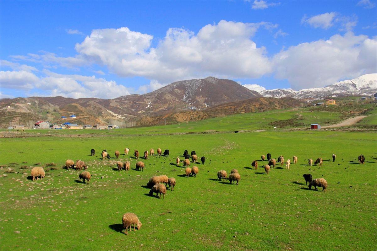 Tunceli Ovacık'ta aynı gün: Ovada inekler, dağda ayılar - Sayfa 1