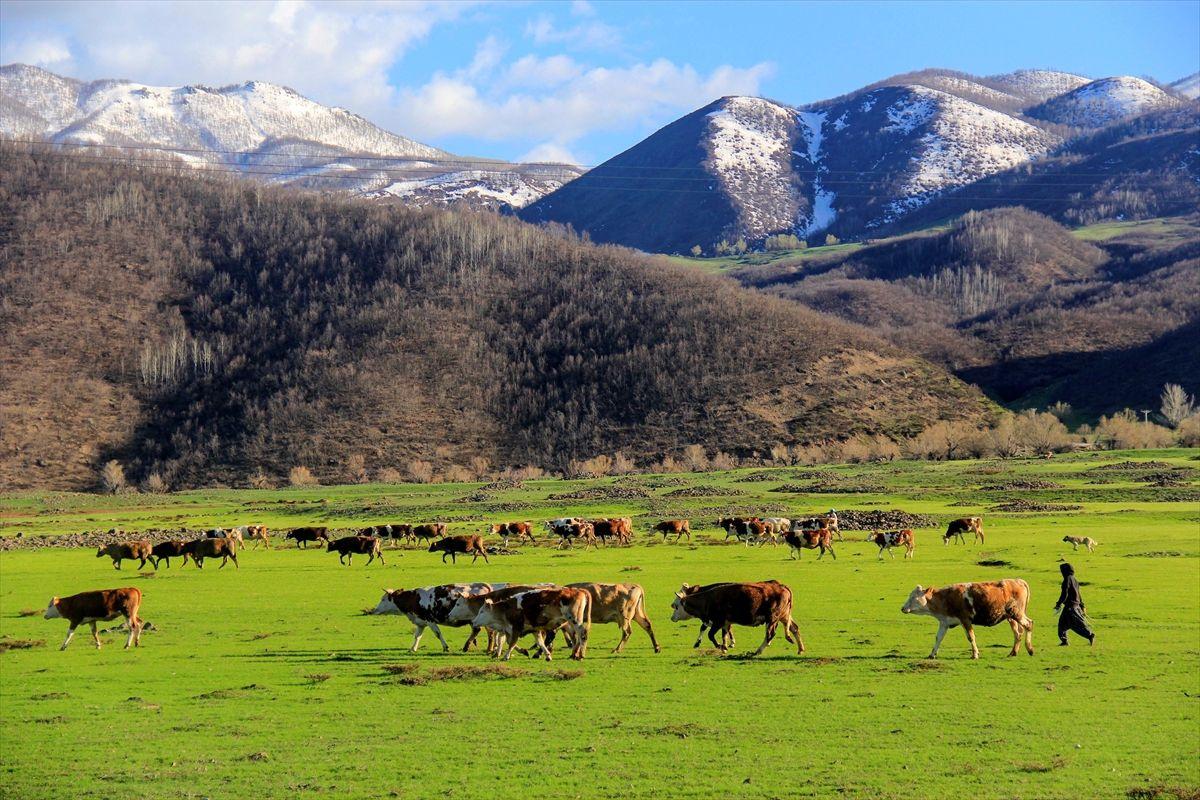 Tunceli Ovacık'ta aynı gün: Ovada inekler, dağda ayılar - Sayfa 4