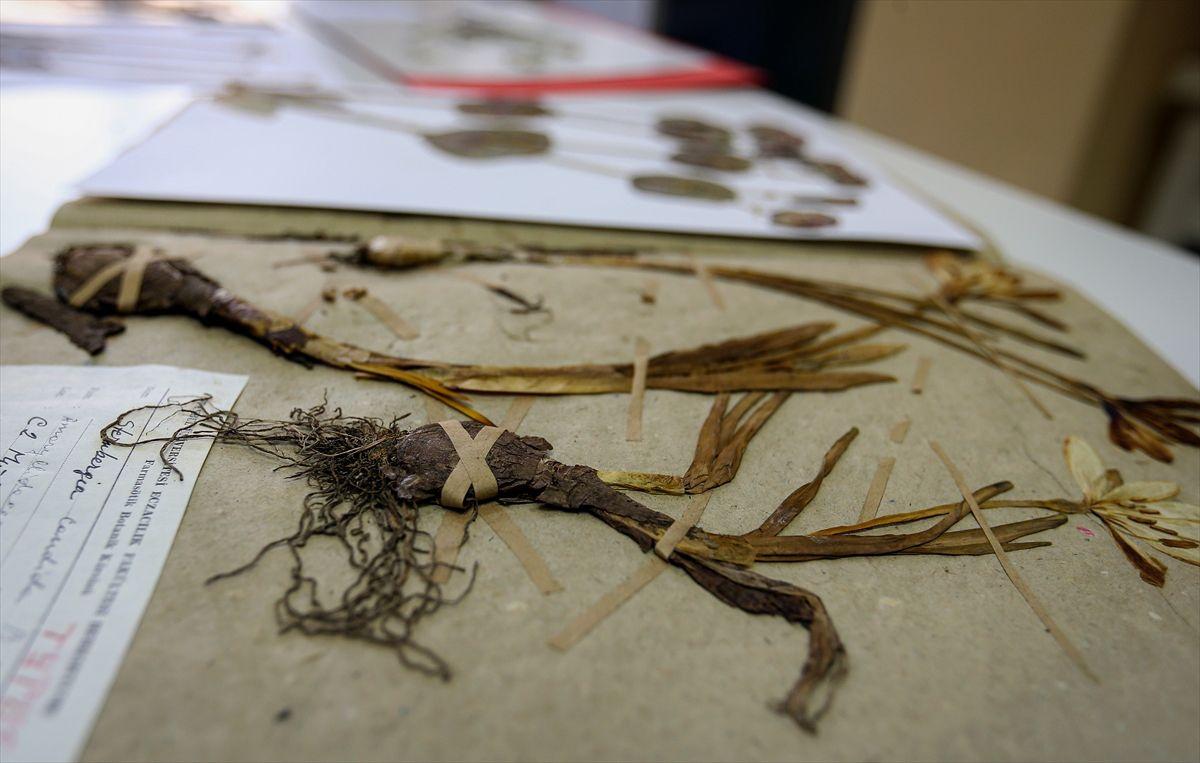 Türkiye'nin 130 bin bitki örneği Herbaryum'da korunuyor - Sayfa 1