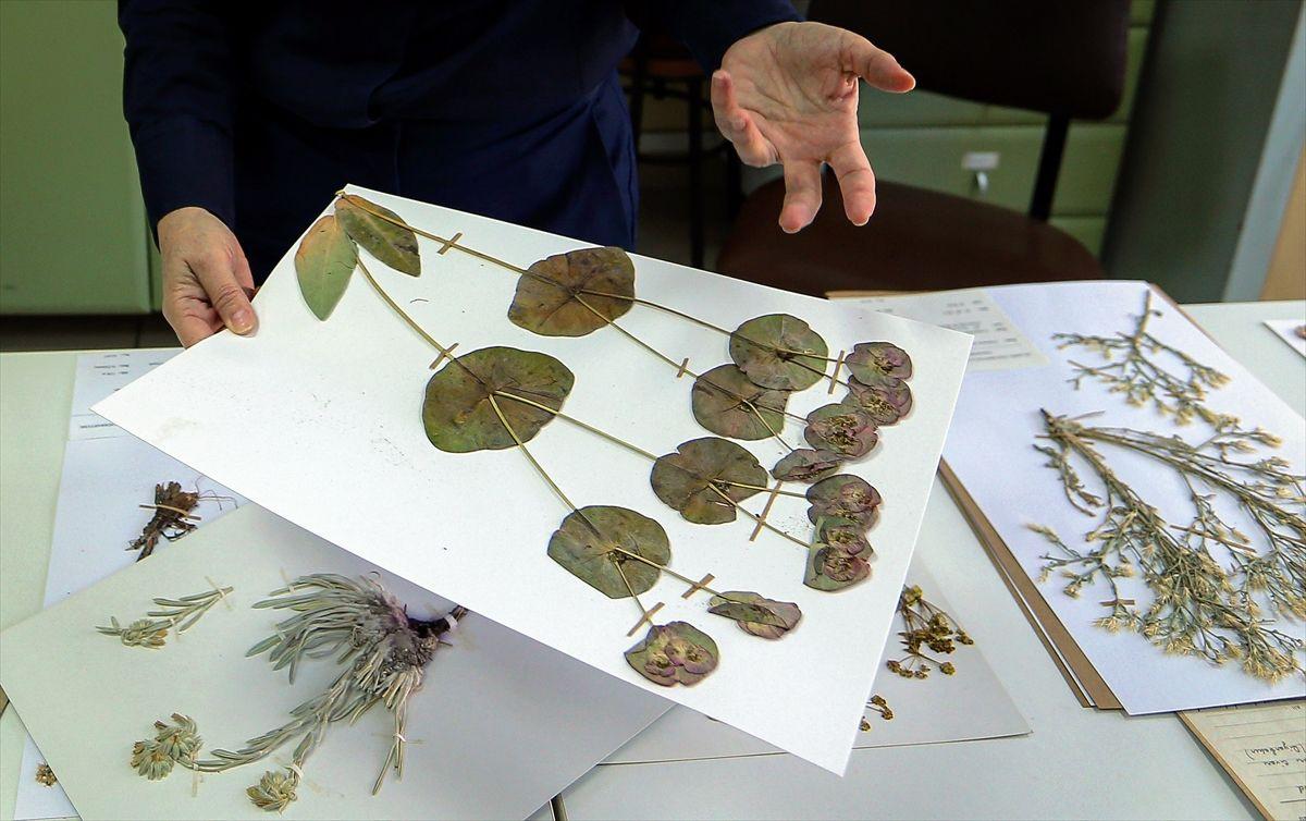 Türkiye'nin 130 bin bitki örneği Herbaryum'da korunuyor - Sayfa 2