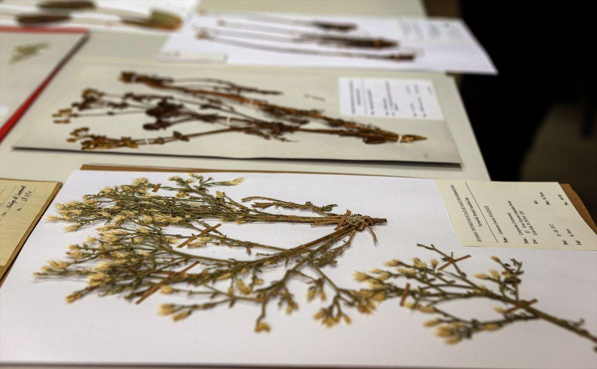 Türkiye'nin 130 bin bitki örneği Herbaryum'da korunuyor - Sayfa 4