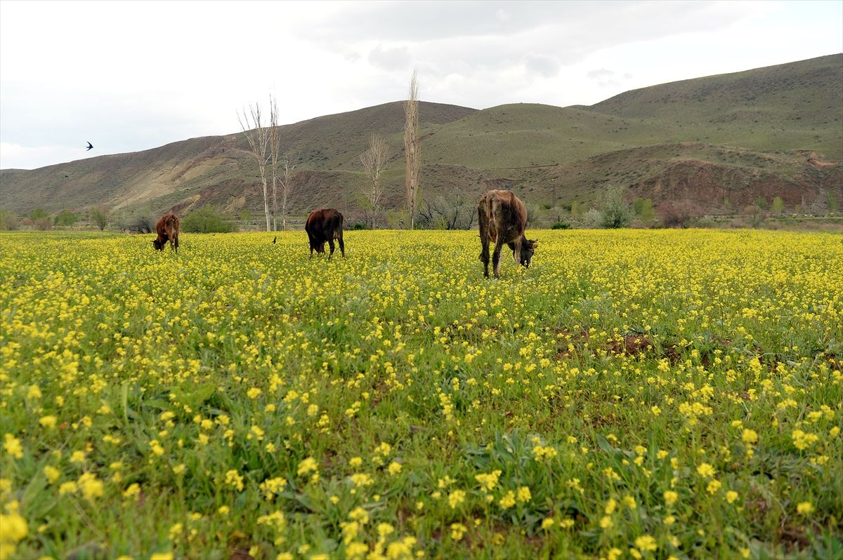 Iğdır'ın ovaları sarı çiçeklerle süslendi - Sayfa 1