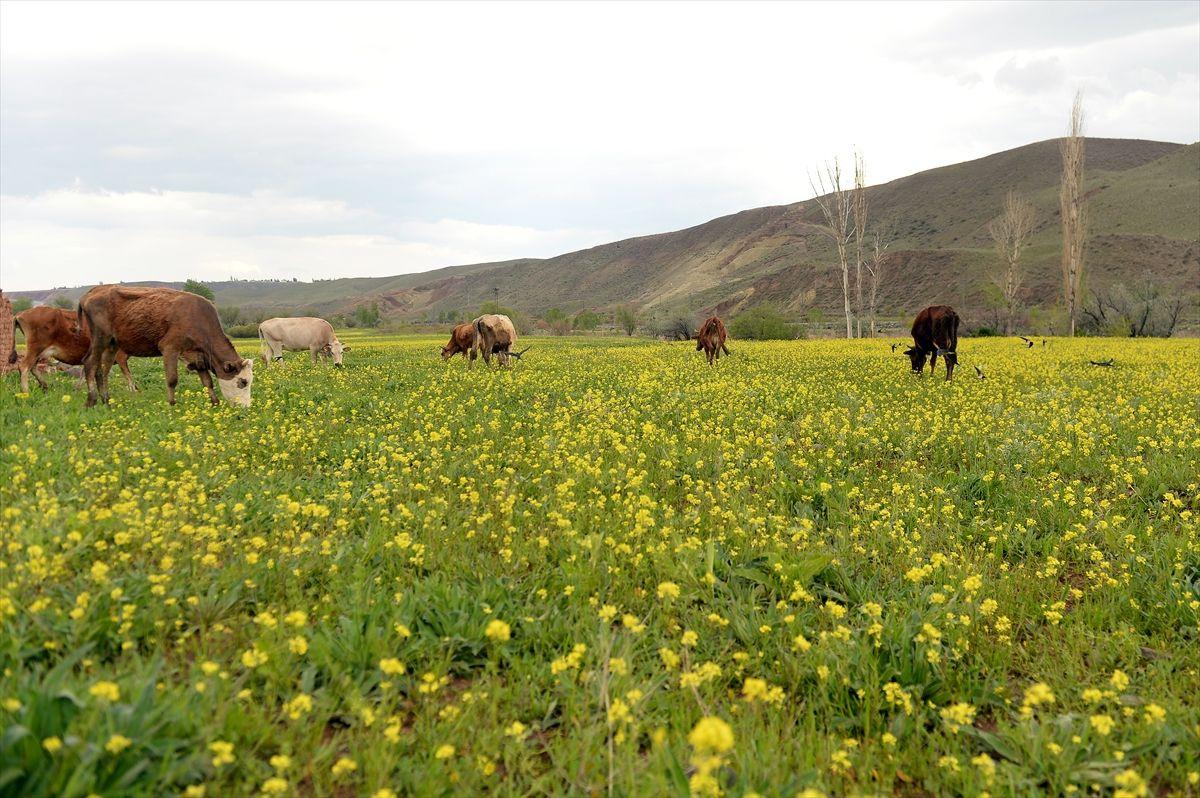 Iğdır'ın ovaları sarı çiçeklerle süslendi - Sayfa 2