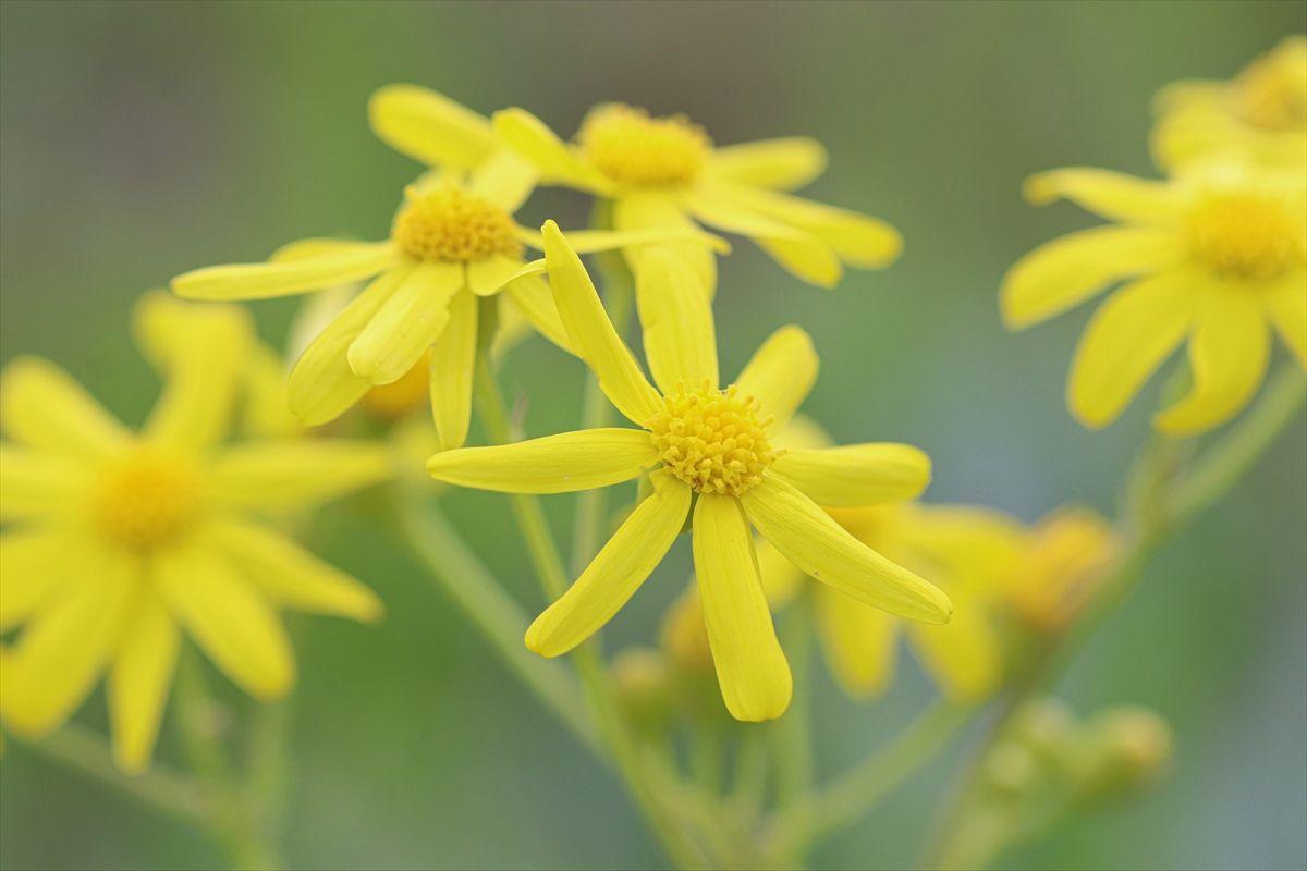 Iğdır'ın ovaları sarı çiçeklerle süslendi - Sayfa 4