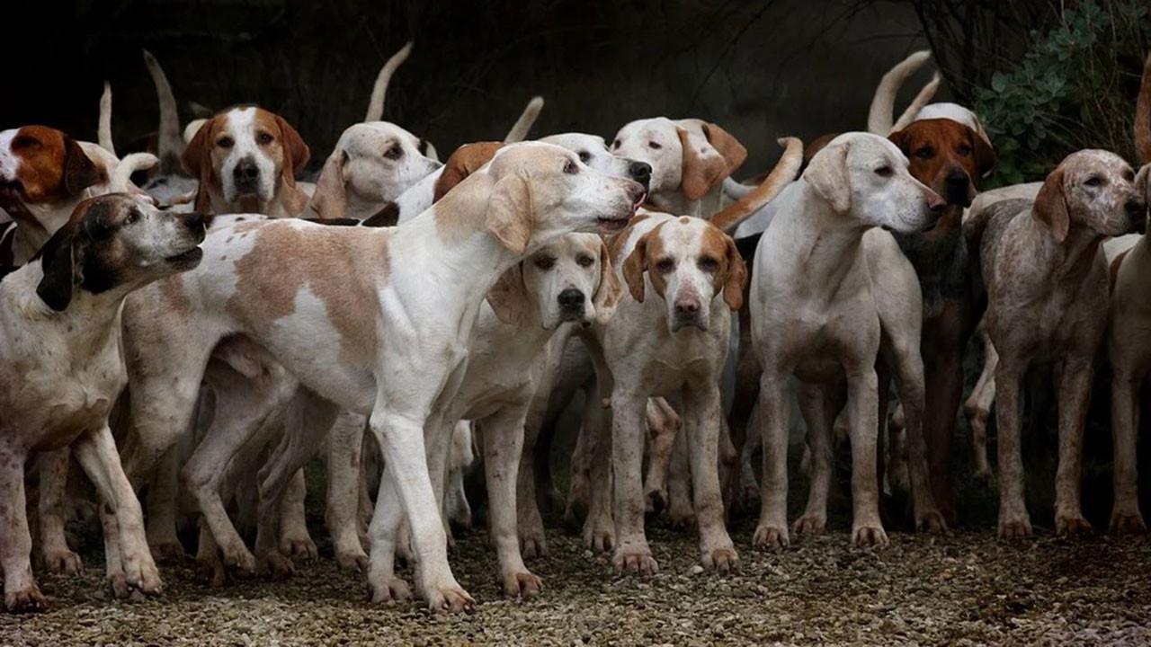 Ezan okununca köpekler neden ulur?