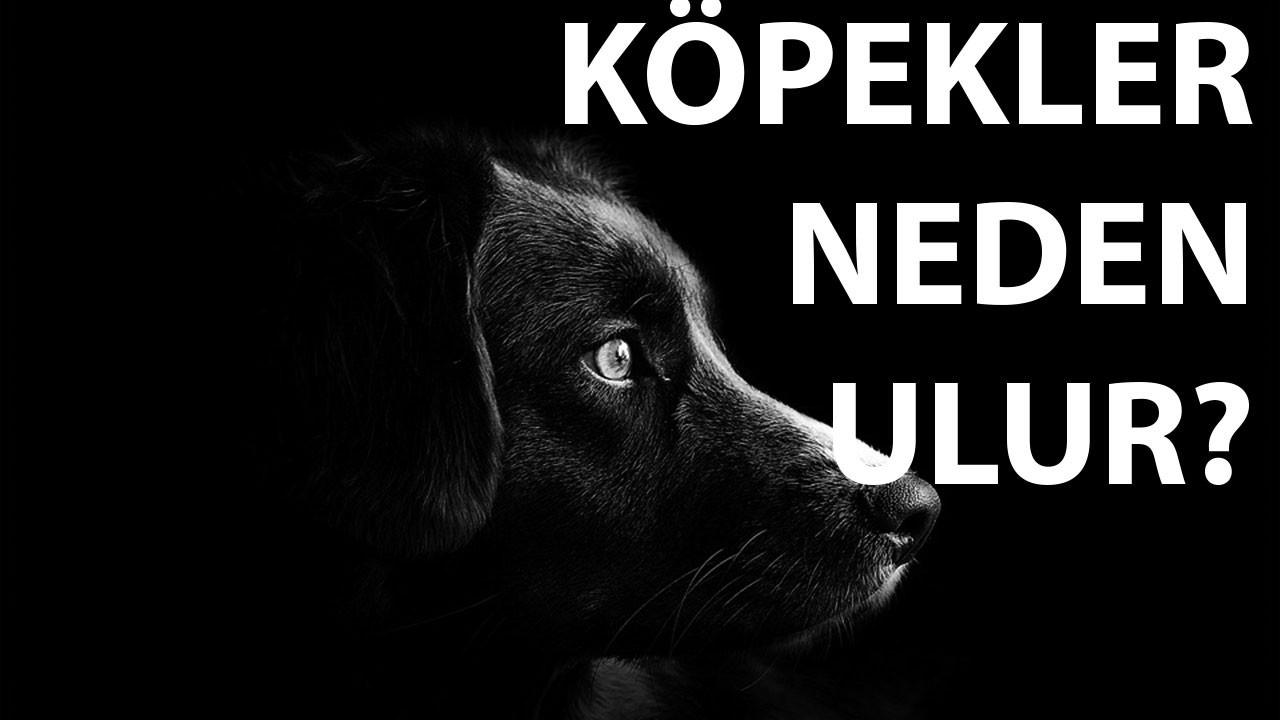 Ezan okunurken köpekler neden ulur? Dini veya Bili