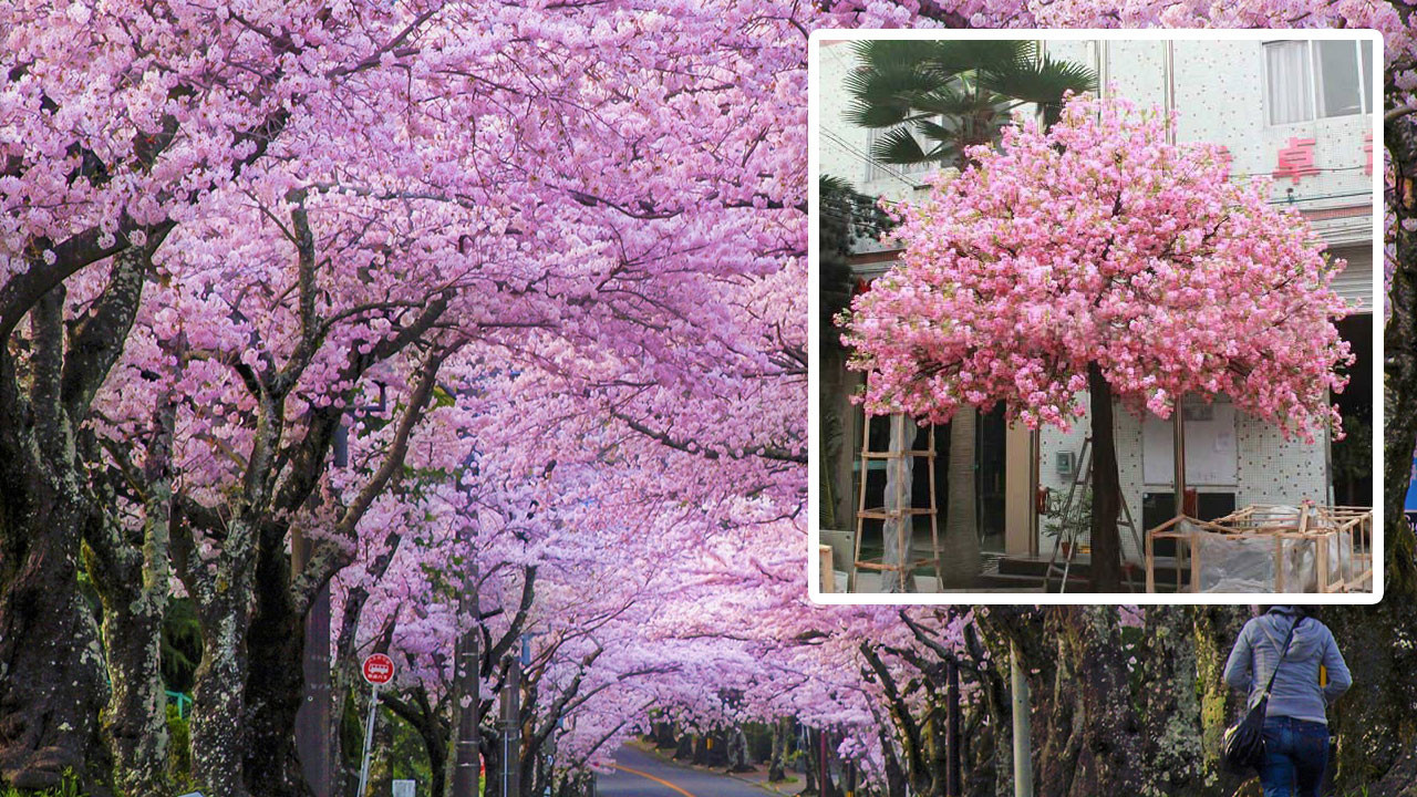 Çam ve Sakura