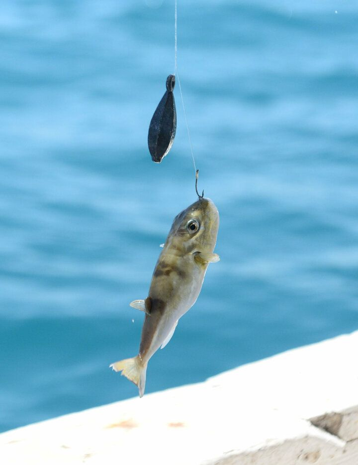 Akdeniz'i istila eden balon balığı tatilcileri korkutuyor - Sayfa 1