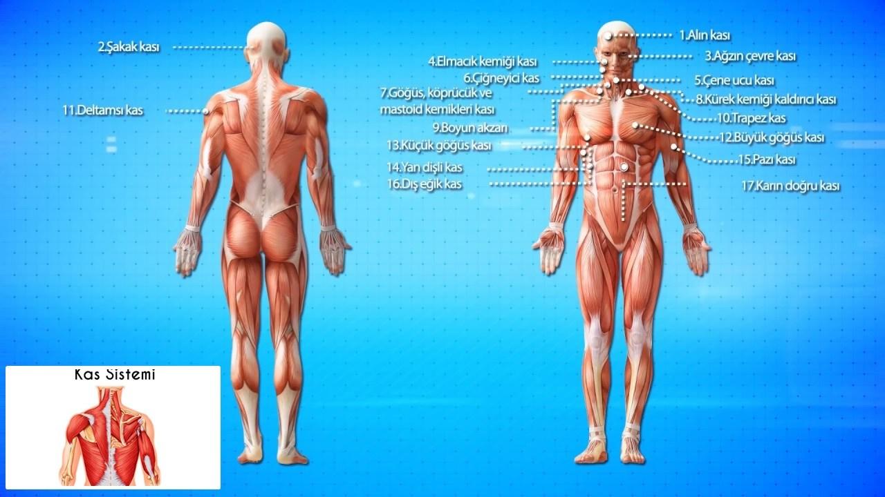 Vücudumuzdaki kas sistemleri nelerdir, ne iş yarar