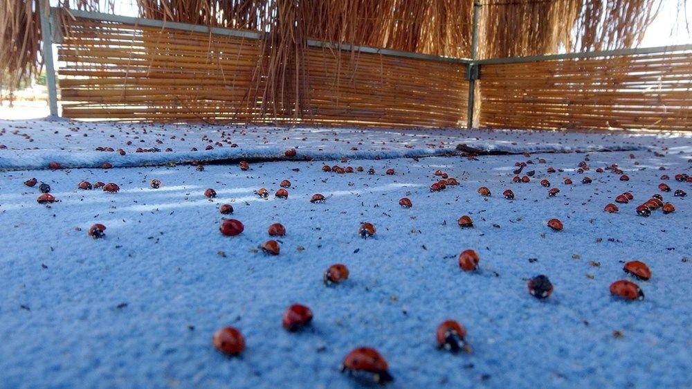 Uğur böceği istilası: Tatilcileri ısırıyorlar - Sayfa 4