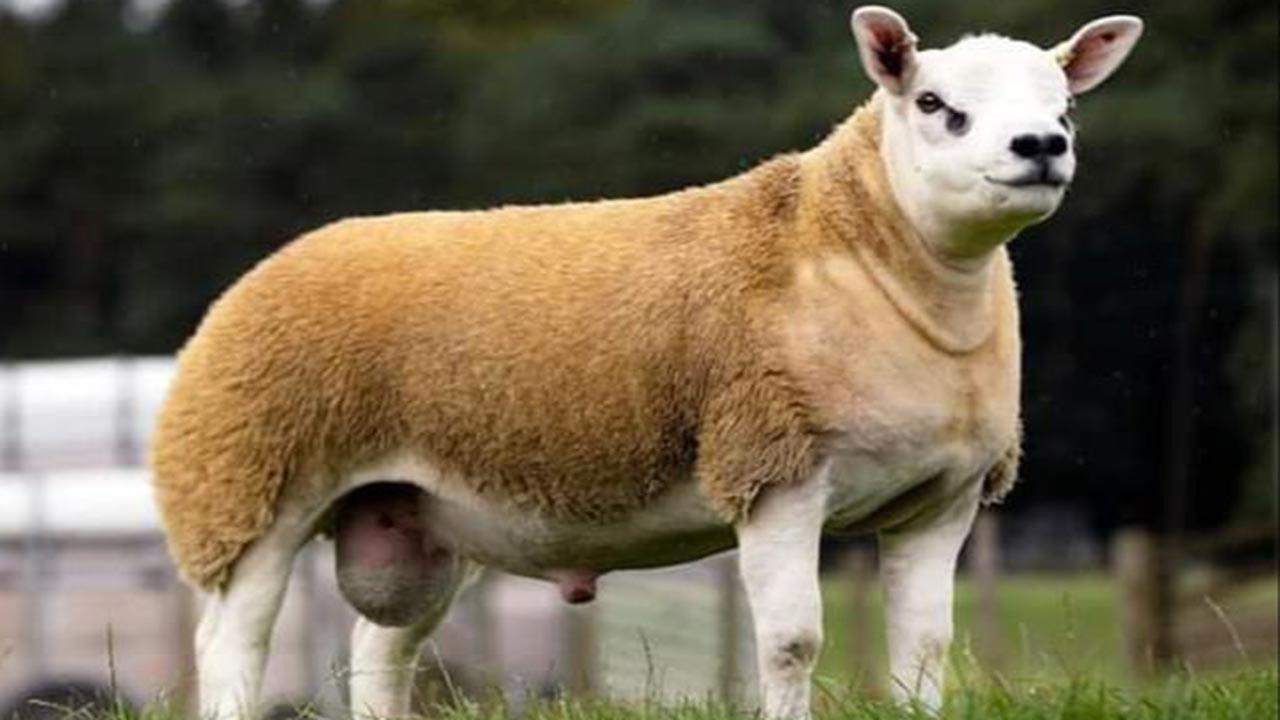 Dünyanın en pahalı koyunu dudak uçuklattı
