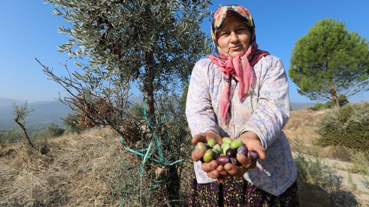 1,5 milyon yabani zeytin ağacı üretime açıldı