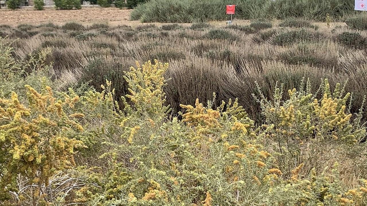 Amerikan çalısı Konya'da toprağa kaybını önledi
