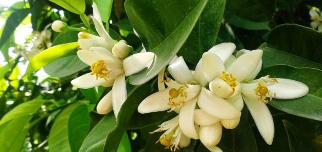 'ilkbahar Kokusu' Portakal Çiçekleri