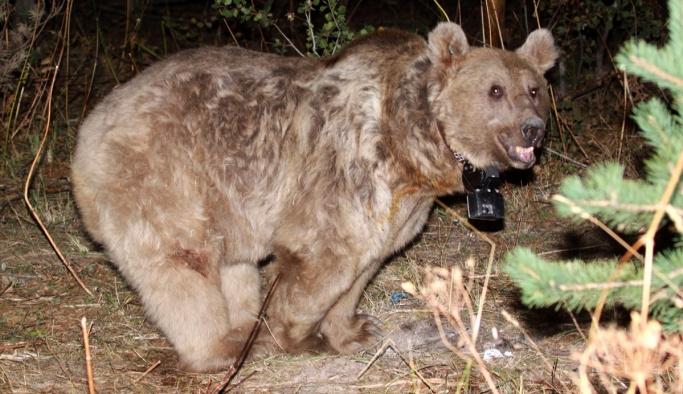 Göç eden boz ayılar sadece Türkiye'de