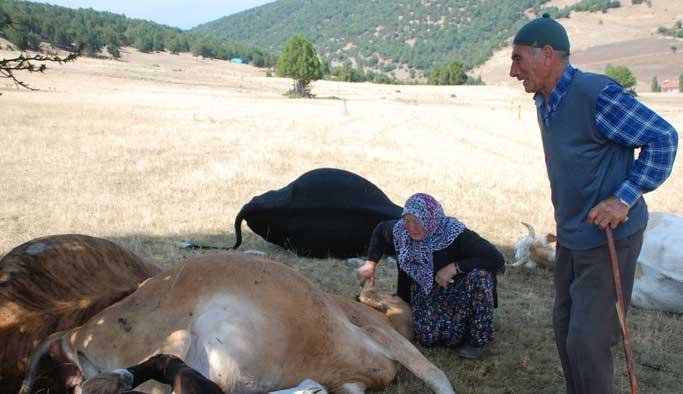 Yaşlı çifte her yerden inek hediye ediliyor