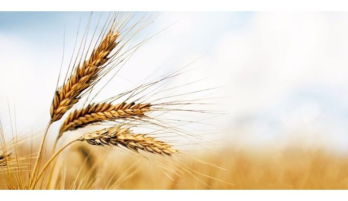 """Gazze'de """"buğday sanatı"""""""