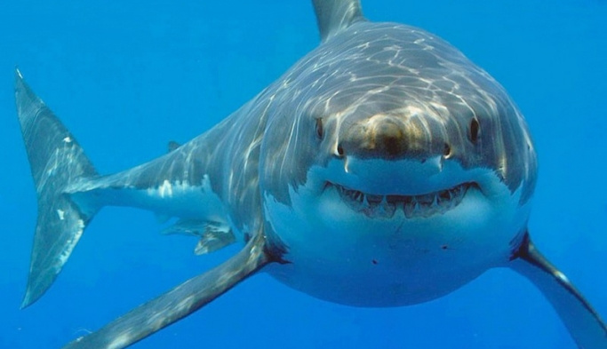 Grönland köpek balığı 400 yıl yaşıyor