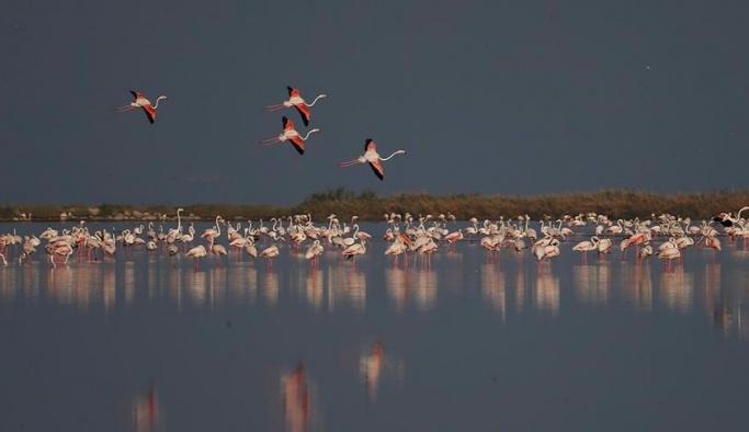Kuş Cenneti yavru flamingolarla şenlendi