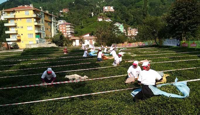 Rize'de Çay Toplama Yarışması