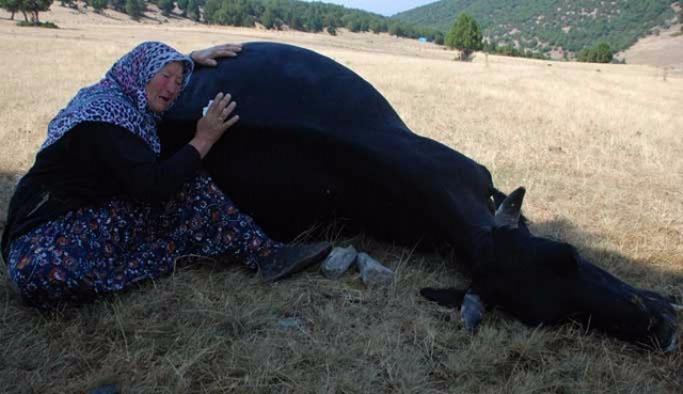 Telef olan inekleri için ağlayan çifte güldüren hediye
