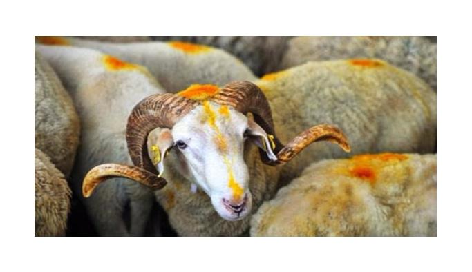"""Vatanın selameti için """"bin koyun"""" adadı"""