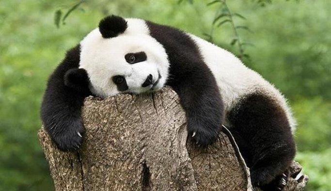 Dev Panda nesli tükenen hayvanlar listesinden çıkarıldı