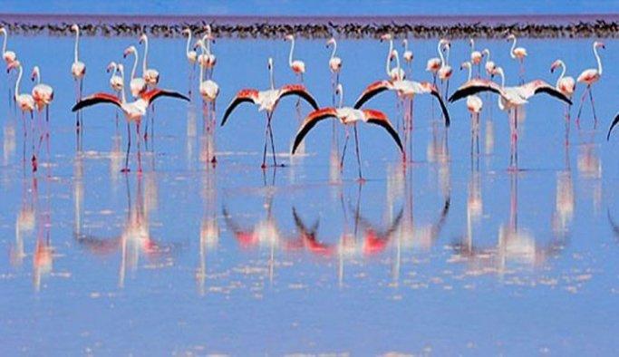 Flamingolar 'büyük göçe' hazırlanıyor