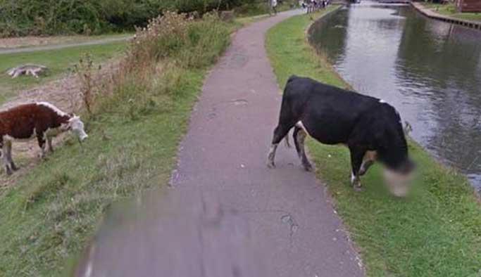 Google'dan ineklerin özeline saygı