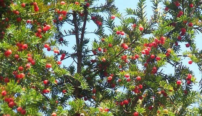 Maçka Parkı'ndaki zehirli meyveyi yiyen kişi öldü
