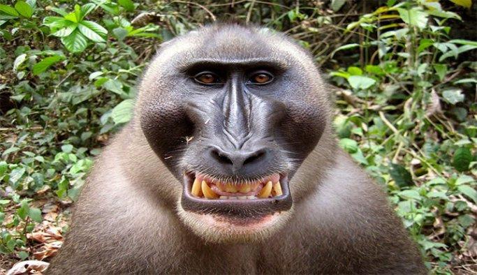 Bu maymunla tanıştınız mı?