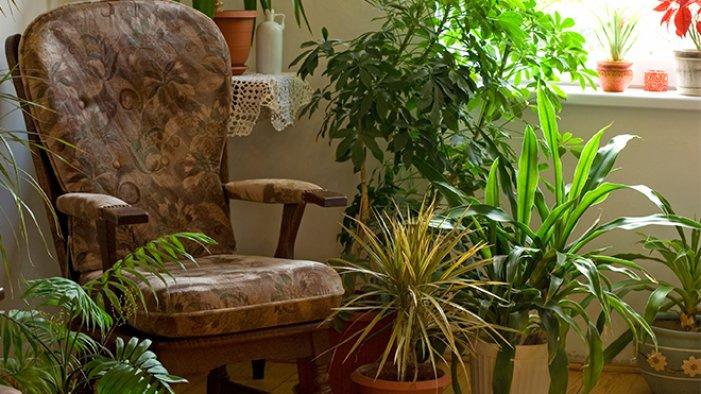 NASA evlerde hava temizleyen bitkileri açıkladı