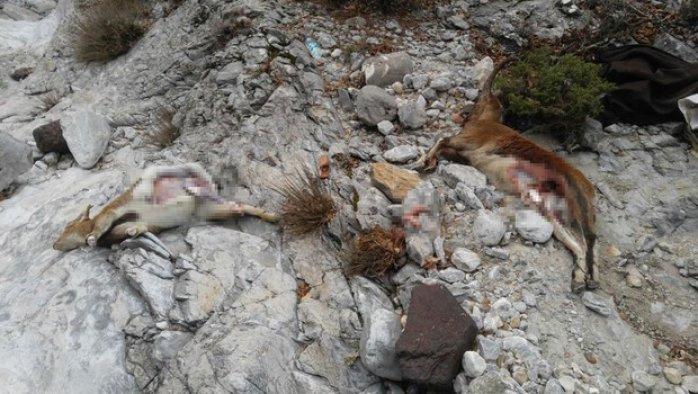 Dağ keçisi katleden avcılara 48 bin TL ceza