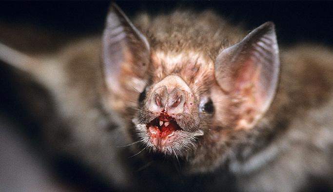 Bilim dünyası şaşkın: Vampir yarasalar gerçek oldu