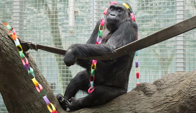 Dünyanın en yaşlı gorili 60 yaşında öldü
