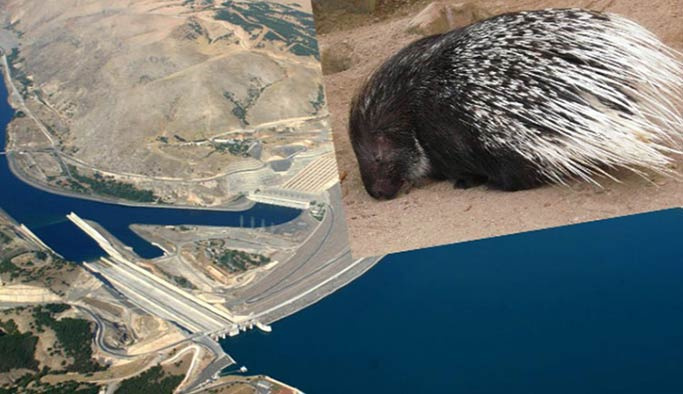 Sevimli kirpi baraj inşaatını durdurdu