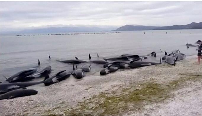 400'den fazla balina kıyıya vurdu