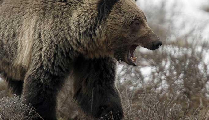 Aç ayılar ölüleri mezardan çıkarıp yemeye başladı