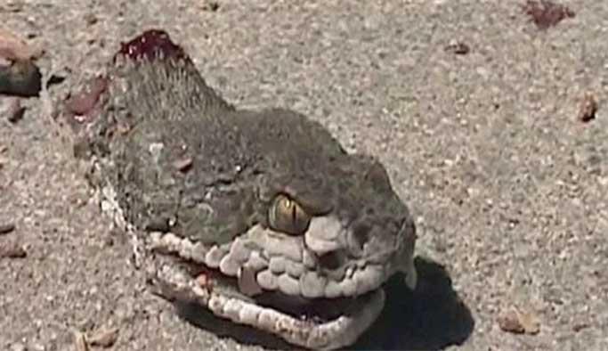 Kafası kesilen yılan 20 dakika sonra adam öldürdü
