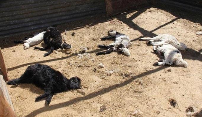 Elazığ'da kurt saldırısı: 150 hayvan telef