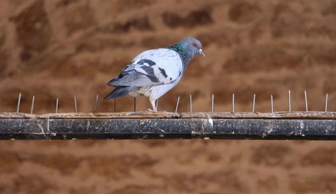 Kuşlara çivili tuzağa hayvanseverlerden tepki