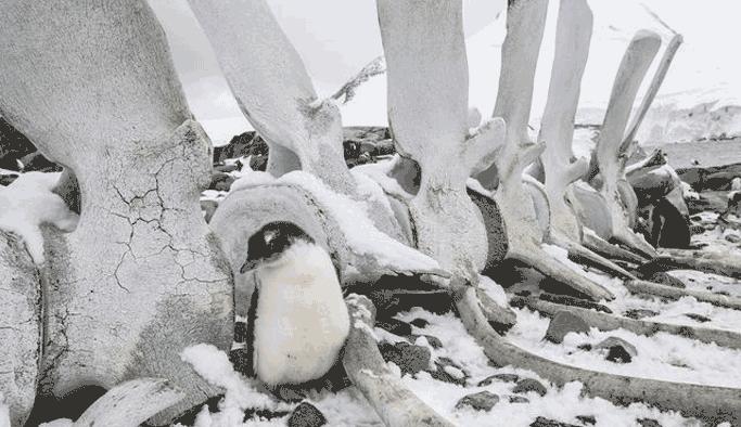 Antartika kıyılarında, esrarengiz iskeletler