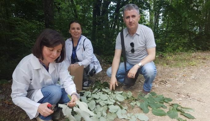 Akçakoca'da kaliteli ıhlamur tür tespit çalışmaları yapıldı
