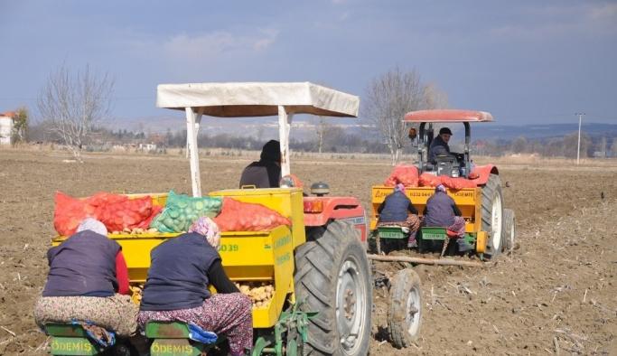 Patates ve hububatta hasat zamanı