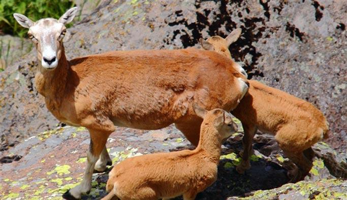Yaban koyunu için yılkı atlarından vazgeçiliyor