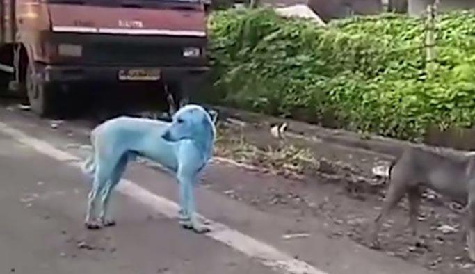 Hindistan mavi köpekleri konuşuyor
